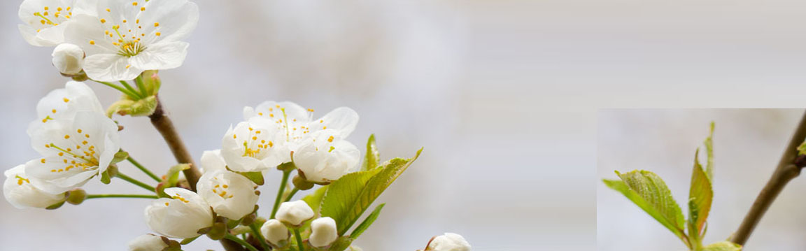 http://www.dreamstime.com/royalty-free-stock-photos-cherry-blossoms-image29442298